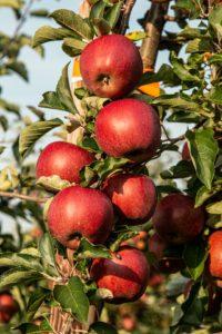 Le jus de Pommes bio